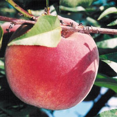 Fayette Peach Trees