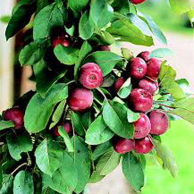 Ballarina Crab Apple Trees