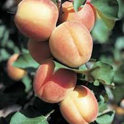 Castlebright Apricots