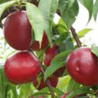Fantasia Fruit Trees