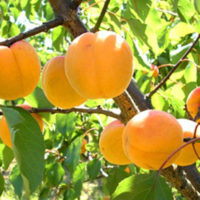 Fitzroy Apricots