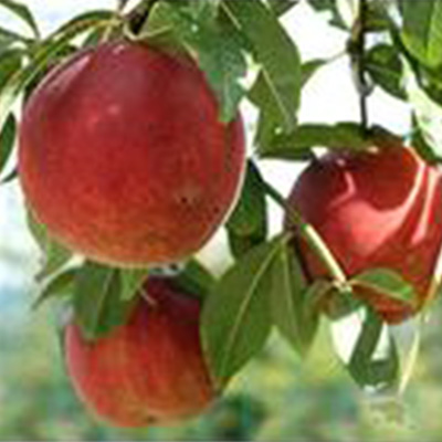 Flamecrest Peach Tree