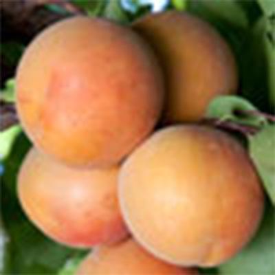 Goldstrike Apricots
