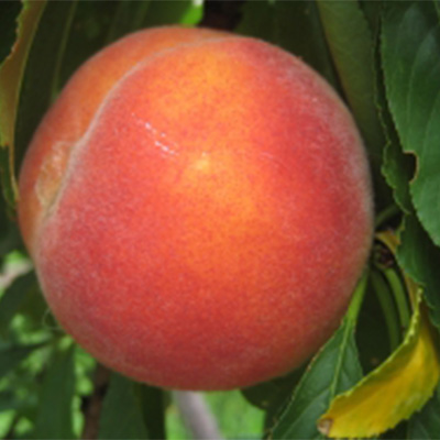 Improved Flavourcrest Peach Tree