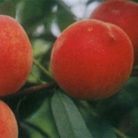 Maycrest Peach