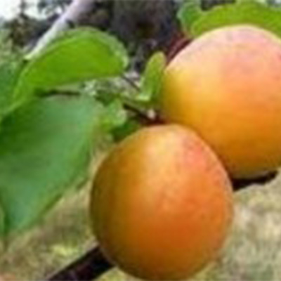 Newcastle Early Apricot Trees