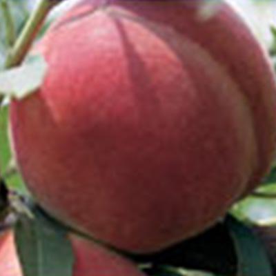 Spring Lady Peach Trees