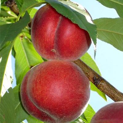 Springcrest Peach Trees