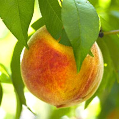 Wiggins Peach Trees